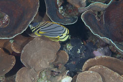 BD-111121-Raja-Ampat-4980-Chaetodon-meyeri.-Bloch---Schneider.-1801-[Scrawled-butterflyfish].jpg